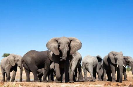 नामिबिया सरकारले बेच्यो ५७ वटा हात्ती